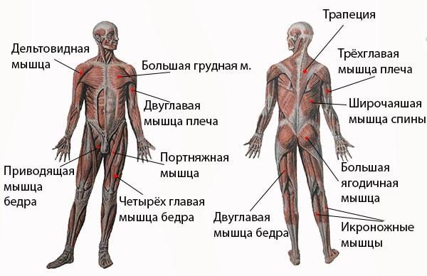 Все мышцы которые работают при плавании