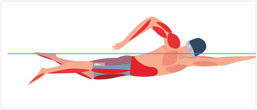 мышцы работающие при плавании кролем