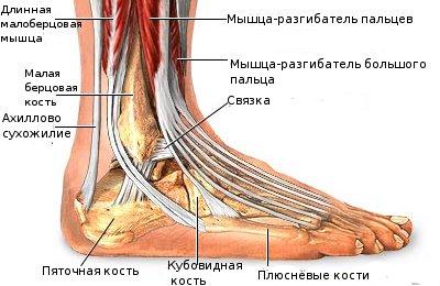 Сухожилия голеностопного сустава лечить суставы коленей